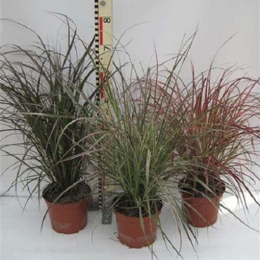 Pennisetum advena MIX (Experts in Green)