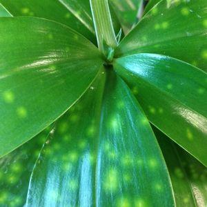 Dracaena surculosa (Vireõ Plant Sales)