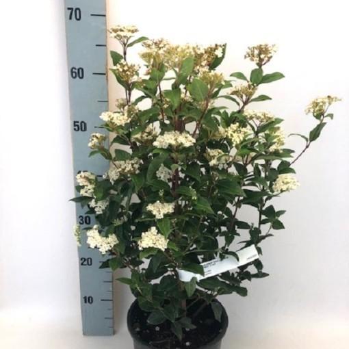 Viburnum tinus 'Eve Price' (Flora Toscana)