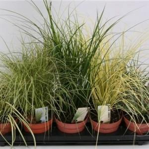 Carex MIX (Handelskwekerij van der Velden)