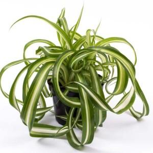 Chlorophytum comosum 'Bonnie'