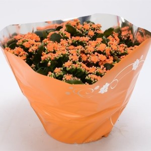 Kalanchoe blossfeldiana PERFECTA ORANGE