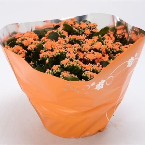 Kalanchoe blossfeldiana PERFECTA ORANGE (Bunnik Plants)