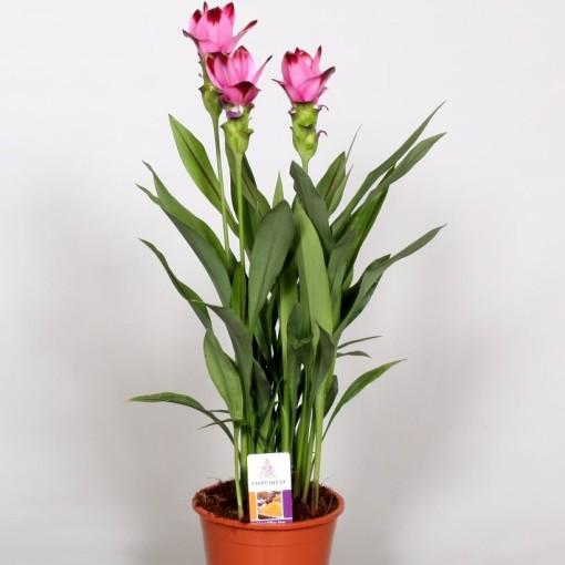Curcuma alismatifolia SIAM SPLASH (BK Plant)