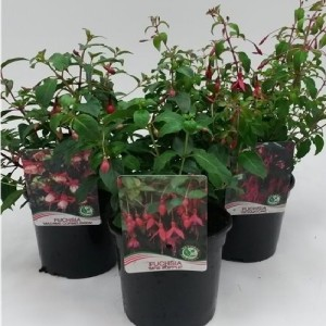 Fuchsia MIX