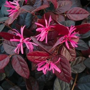 Loropetalum chinense 'Fire Dance' (About Plants Zundert BV)