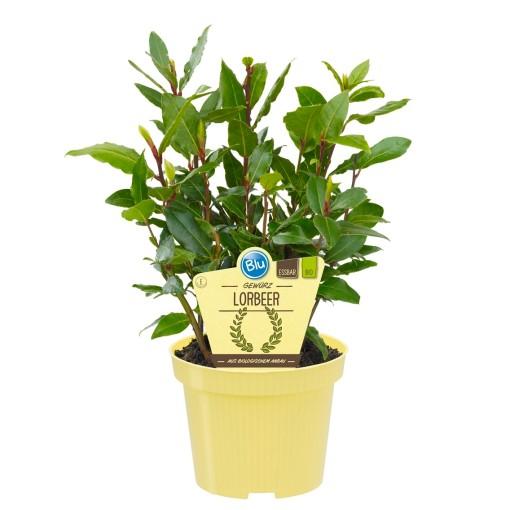 Laurus nobilis (Experts in Green)