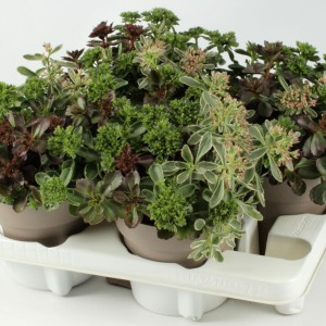 Sedum MIX IN POT