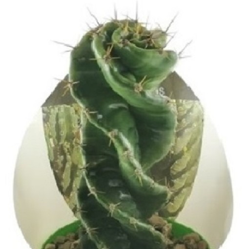 Cereus forbesii 'Spiralis' (Giromagi)