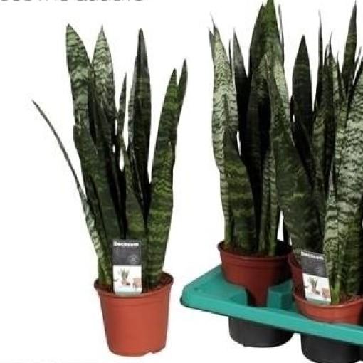 Sansevieria trifasciata 'Black Coral' (JoGrow B.V.)