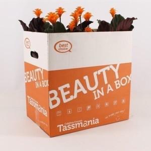 Calathea crocata TASSMINIA