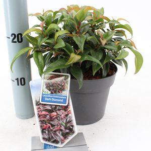 Leucothoe fontanesiana DARK DIAMOND (About Plants Zundert BV)