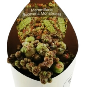Mammillaria bocasana monstruosa