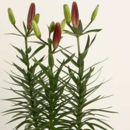 Lilium 'Tiny Ghost' (Wetering Potlilium)