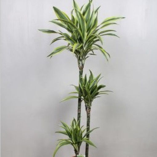 Dracaena fragrans 'Lemon Lime' (Vireõ Plant Sales)