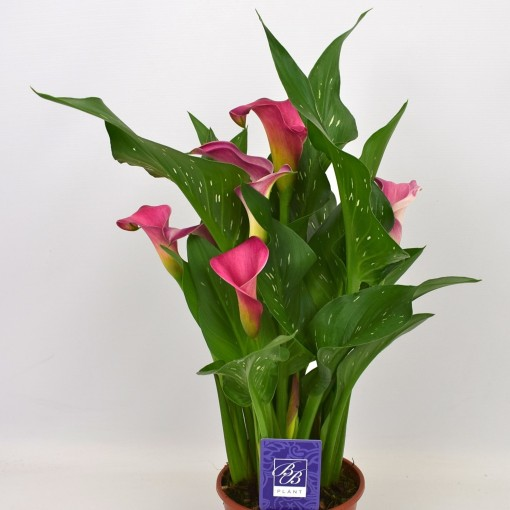 Zantedeschia 'Pink Jewel' (BB Plant)