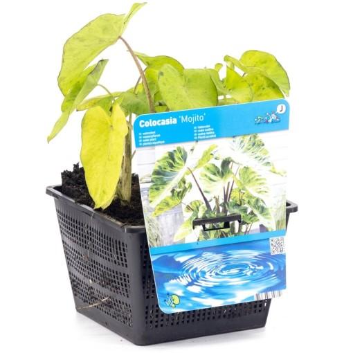 Colocasia esculenta 'Mojito' (Moerings Waterplanten)