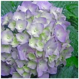 Hydrangea macrophylla 'Gertrud Glahn' (About Plants Zundert BV)