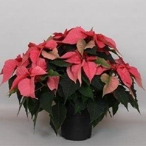 Euphorbia pulcherrima CHRISTMAS FEELINGS PINK
