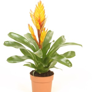 Vriesea 'Electric' (Best Bromelia)