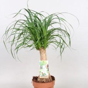 Beaucarnea recurvata (Vireõ Plant Sales)