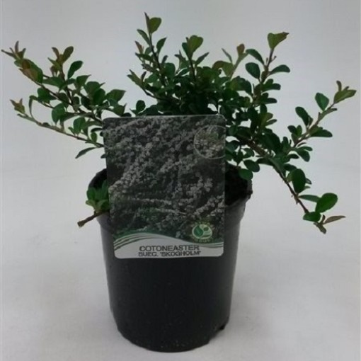 Cotoneaster radicans 'Eichholz' (WTM de Boer)