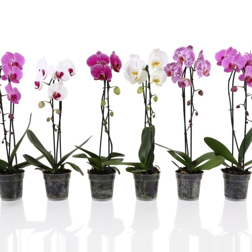 Phalaenopsis MIX (Stolk Orchids)