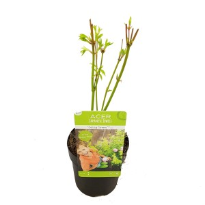 Acer palmatum 'Going Green'