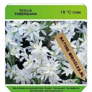 Scilla MIX (Gebr. Straathof)