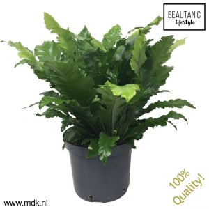 Asplenium 'Green Miracle'