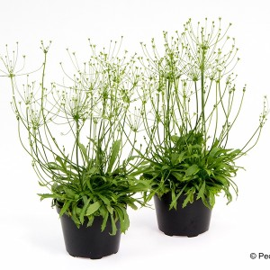 Androsace septentrionalis 'Stardust'