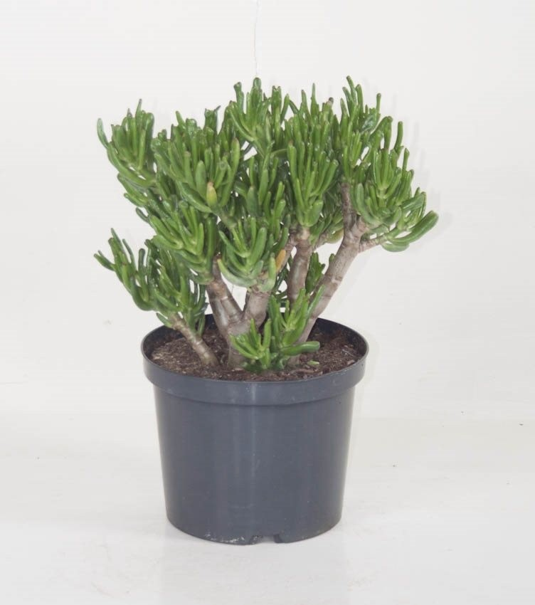 crassula ovata 39 hobbit 39 p23cm h45cm floraccess wholesale of plants. Black Bedroom Furniture Sets. Home Design Ideas