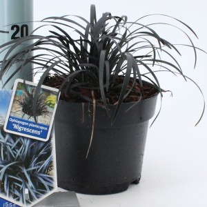 Ophiopogon planiscapus 'Nigrescens' (About Plants Zundert BV)