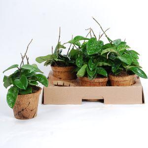 Hoya carnosa 'Albomarginata' (Van der Arend Tropical Plantcenter)