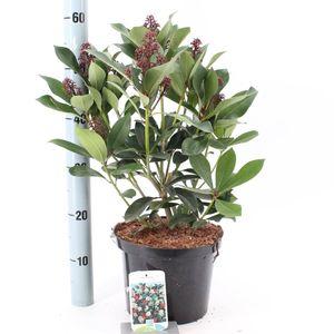 Skimmia japonica 'Redruth'