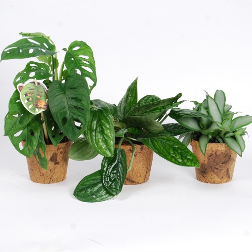 Foliage plants MIX (Van der Arend Tropical Plantcenter)