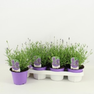 Lavandula angustifolia 'Hidcote' (Amstelzicht BV)
