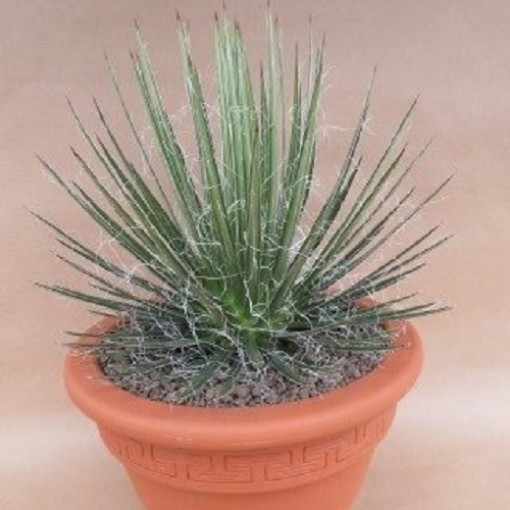 Agave filifera (John De Wilde bvba)
