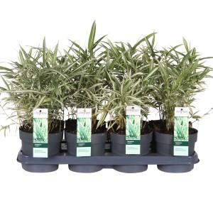 Pleioblastus variegatus (Hoogeveen Plants)