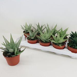 Aloe MIX