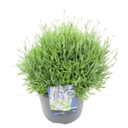 Lavandula angustifolia 'Hidcote' (Noordpoel, Kwekerij de)