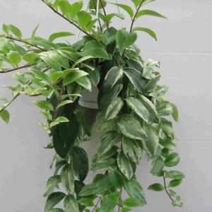 Aeschynanthus lobbianus 'Variegatus'