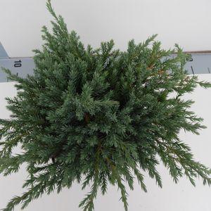 Juniperus squamata 'Blue Carpet' (Koekoek Potcultures, de)
