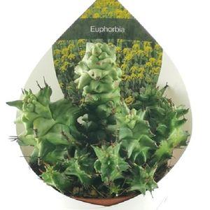 Euphorbia horrida monstruosa