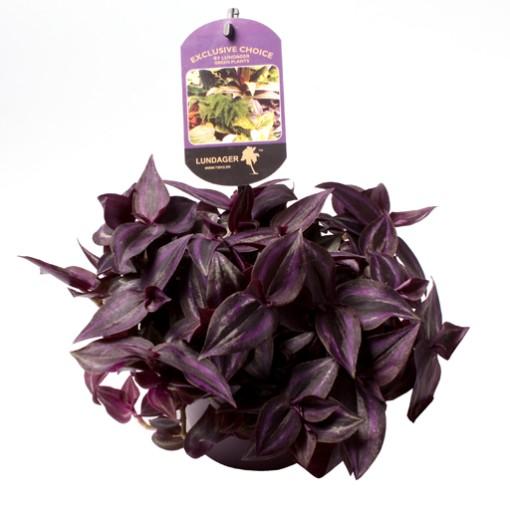 Tradescantia zebrina 'Purple Joy' (Gasa DK)
