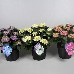 Hydrangea macrophylla CURLY WURLY MIX