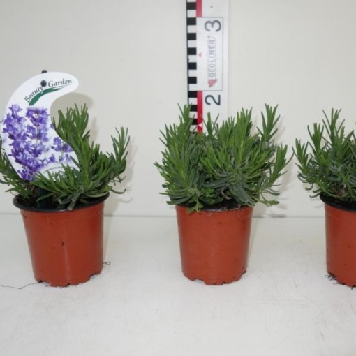 Lavandula angustifolia 'Essence Purple' (Experts in Green)