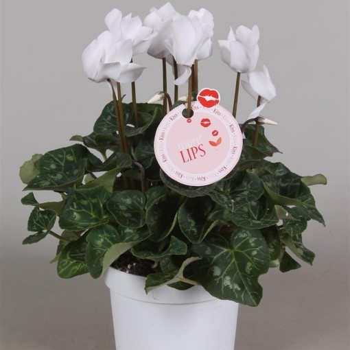 Cyclamen persicum SUPER SERIE S ALLURE WHITE (Adrichem Potplanten)