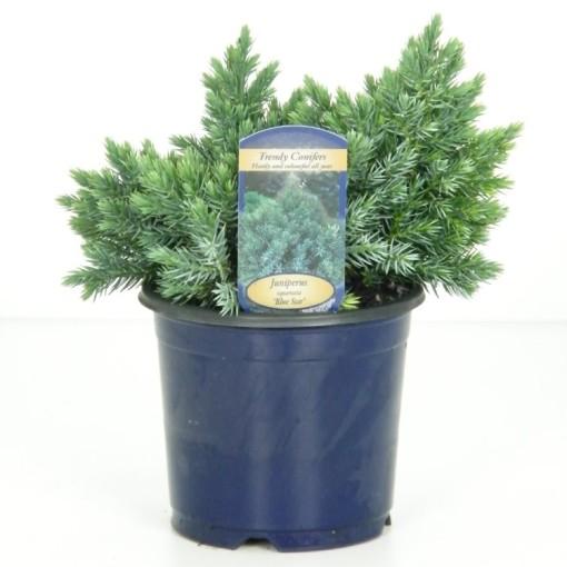 Juniperus squamata 'Blue Star' (Vredebest, Kwekerij )