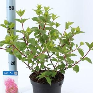 Hydrangea paniculata SUNDAE FRAISE (About Plants Zundert BV)